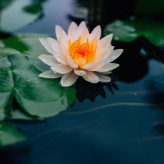 Poster de jardin Nénuphars Beautiful Lotus flower in pond