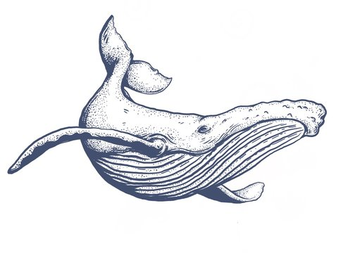 The humpback whale hand draw on white background