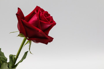 Zelfklevend Fotobehang Roses red rose isolated on white background