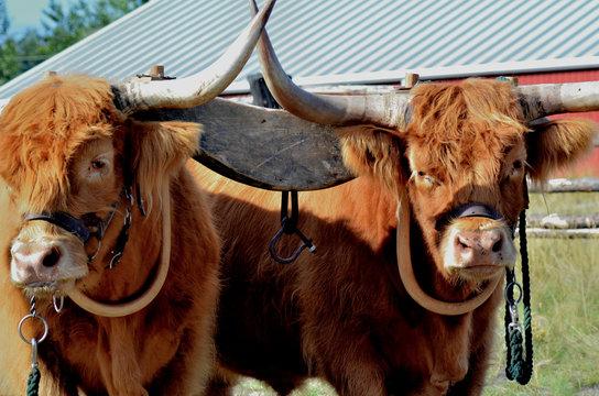 Pair of Highland cattle draft animal in yoke for pulling.