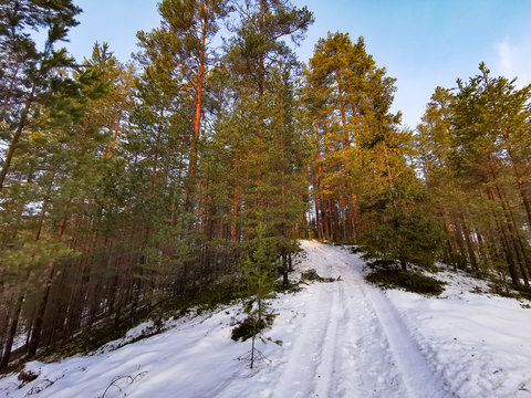 Winter pine trees forest with snow in Finland