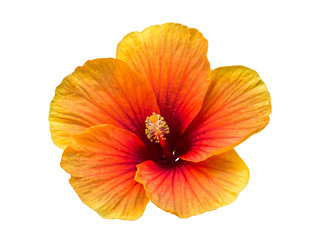 single flower isolated include clipping path