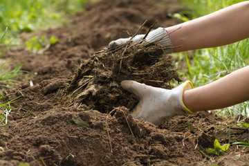 rotted manure in the hands of a gardener