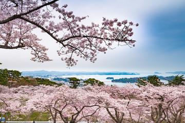桜が満開の松島西行戻しの松公園と日本三景松島 Wall mural