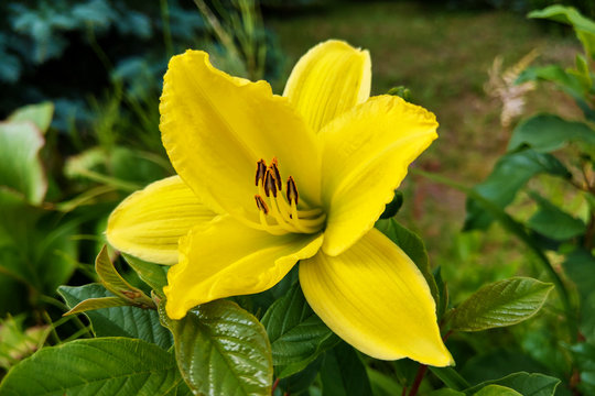 Yellow Lily Flowers in the Garden, nature.