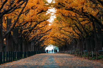 Wall Mural - A straight road lined with ginkgo trees during autumn in Tokyo, Japan