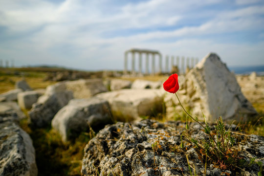 Beautiful wild red poppy flower on the rock with blurry ancient ruin of laodicea in the background.