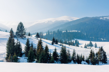 mountainous landscape in wintertime. amazing acenery on a bright sunny day. spruce forest on snow covered rolling hills. beautiful scenery of borzhava ridge