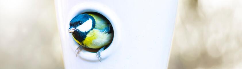 Kohlmeise schaut aus dem Vogelhaus mit einem Korn im Schnabel