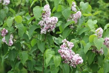 Foto op Aluminium Lilac lilac at spring