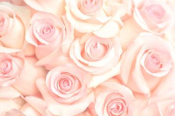 Keuken foto achterwand Roses Coral rose flower. Detailed retouch