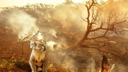Wall Mural - Cinemagraph loop: Australian wildlife in bushfires of Australia in 2020. koala with fire on background. January 2020 fire affecting Australia is considered the most devastating and deadly ever seen