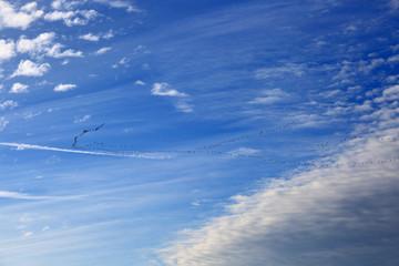 Klucz gęsi na tle błękitnego nieba.