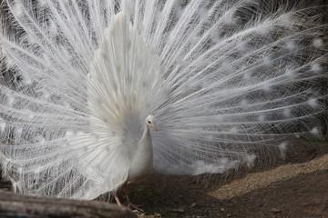 pfau schlägt rad weiß albino