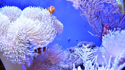 Poster Coral reefs Clownfish, Amphiprioninae, in aquarium tank with reef as background.