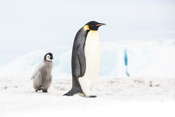 Tuinposter Pinguin Emperor penguin colony, adults and chicks, Snow Hill, Antarctica