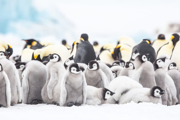 Papiers peints Pingouin Emperor penguin colony adults and chicks on the sea ice, Snow Hill, Antractica