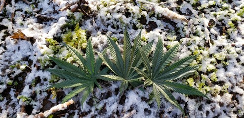 Cannabis Leaves in the Snow_3