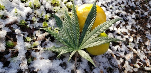 Citrine Cannabis Leaf