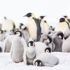 Spoed Fotobehang Pinguin Emperor penguin colony, adults and chicks, Snow Hill, Antarctica