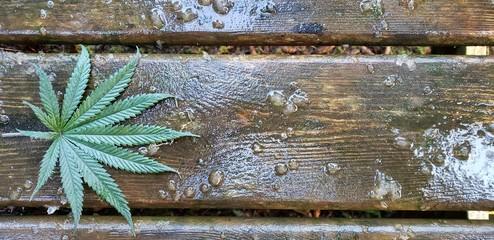 Cannabis Leaf on Wet Barnwood_Header 4