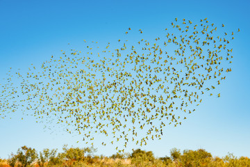 Large flock of wild green budgerigars in the red outback flying against the blue sky Papier Peint