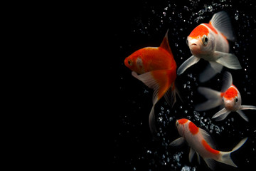 Butterfly koi fish with water bubles isolated on white .