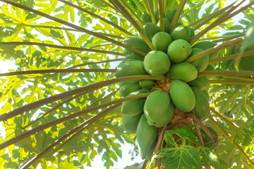 Green natural raw tropical papaya plants grow, hang on tree in Asia, Vietnam or Thailand. Fresh summer ripe bunch of fruits. Papaya plantation in garden. Agriculture fruits in organic farm. Harvesting