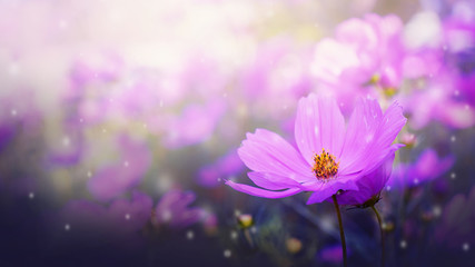 Poster Universe Fresh pink cosmos flowers in garden. Beautiful nature spring.