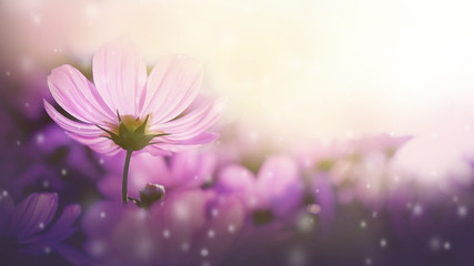 Garden Poster Universe Fresh purple cosmos flowers blooming in garden. Beautiful nature spring.