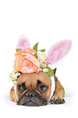 Cute easter bunny French Bulldog dog lying on floor dressed up with peony and roses flower rabbit ears headband costume