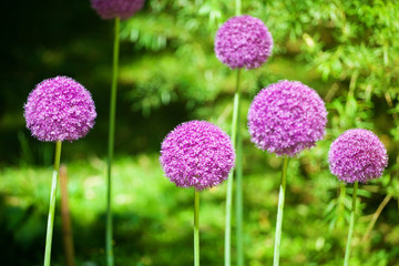 Allium cristophii or giganteum, ornamental garden plant, big round violet flowers blossom on green blurred background close up, dandelion balls in bloom, decorative persian onion, purple chives flower