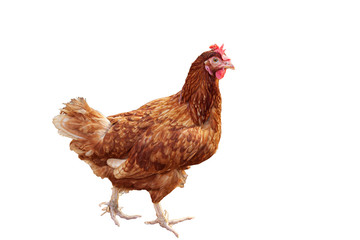 Brown hen on white background.