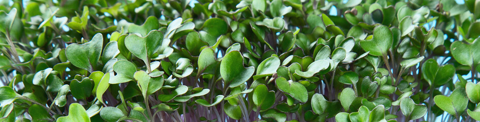 Micro greens sprouts Wall mural