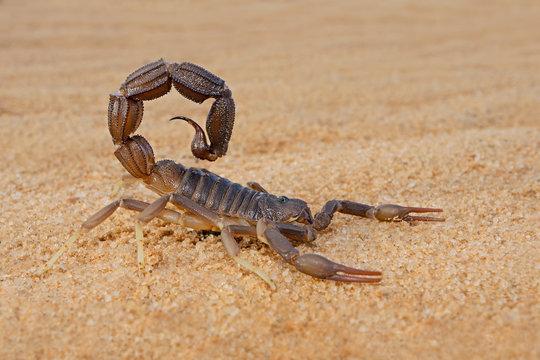 Granulated thick-tailed scorpion (Parabuthus granulatus), Kalahari desert, South Africa .