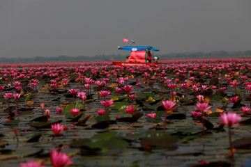 A tourist boat sails among lotus flowers in the Red Lotus Lake outside Udon Thani