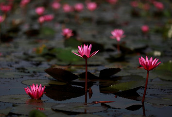 A view of  blooming lotus flowers in the Red Lotus Lake outside Udon Thani