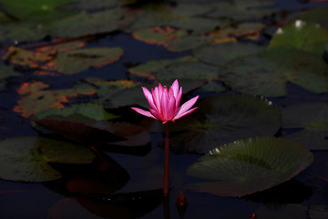 A lotus flower is seen in the Red Lotus Lake outside Udon Thani
