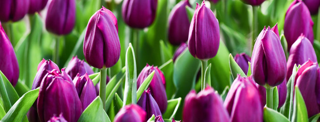 Foto op Canvas Tulp Violet tulips in amazing spring garden detail. Panorama or banner concept.