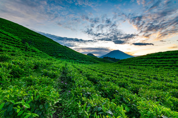 Wall Murals Green Wonosobo, Indonesia : Beauty scenic of green tea plantation with the blue sky andcloud texture. Fresh morning. Mountain. Farm