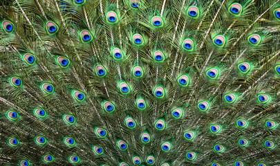 Fotorolgordijn Pauw Peacocks pattern or texture. Colorful and Artistic peacock feathers banner or panorama..