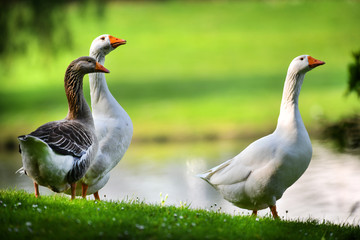 White domestic geese and one wild in green park. Goose with an orange beaks on beautiful meadow.