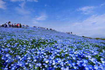 ネモフィラの丘。国営ひたち海浜公園。ひたちなか、茨城、日本。4月下旬。