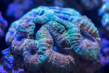 Fototapete - Brain Coral ..(Lobophyllia hemprichii) rainbow color