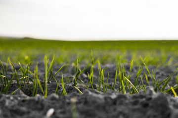 Young wheat seedlings growing on a field in autumn. Young green wheat growing in soil. Agricultural...