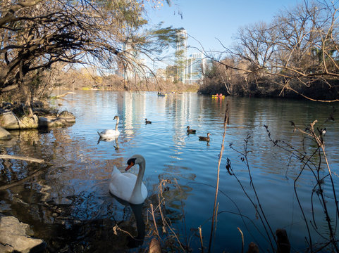 Swans on barton creek with kayaks and skyscrapers in the background Austin Texas
