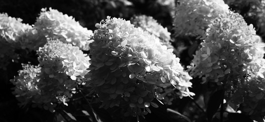 Papiers peints Hortensia Magnificent inflorescences of a hydrangea paniculata of a grade Limelight in gray tones. Contrast black-and-white image.