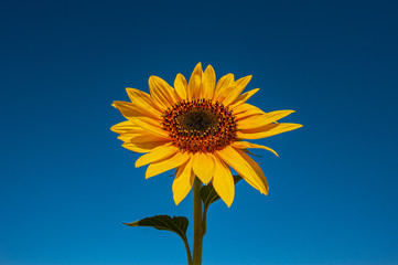 Blooming bright yellow sunflower on a blue sky. Summer season, august.