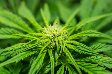 THC and CBD in pot. Growing cannabis. Weed for recreational purposes. Indoor grow weed cultivation. Cannabis growing in the grow tent. The concept of indoor marijuana.