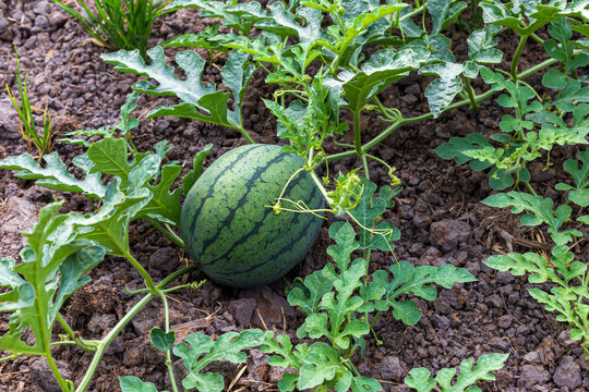 Watermelon that is growing on the farm